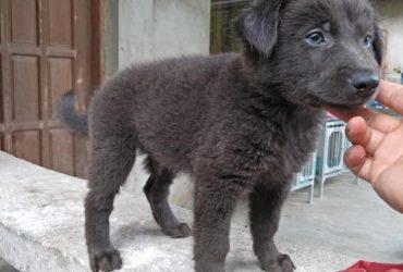labrador mix husky