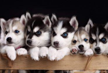 Siberian Husky Puppies Beautiful