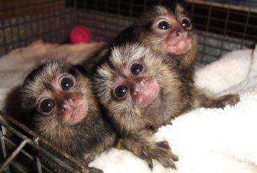Marmoset Monkeys For Adoption Now