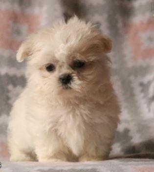 Barbie – Shih Tzu Puppy for Sale