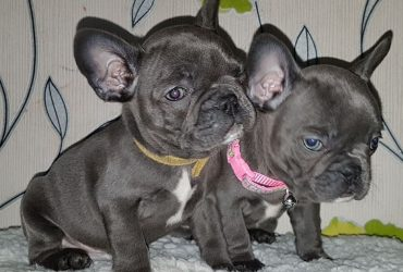 Solid Blue Kc French Bulldogs Pups