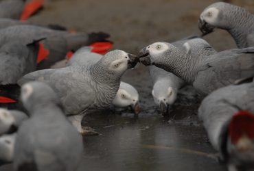 Available Fresh Fertile Parrot Eggs Ostrich Eggs, Chicks  And Babies Parrots