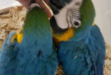 Home Trained Macaw Parrots Babies for sale with Cages