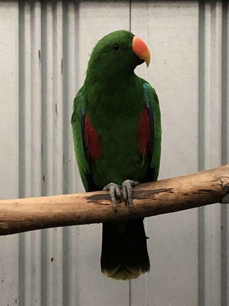Vosmaeri eclectus parrots pair Whatsapp……. +12168161403