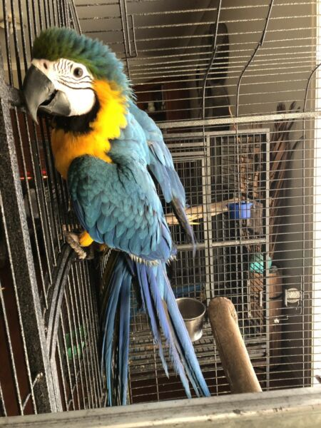 Hand reared Blue and Gold macaws Whatsapp……. +12168161403